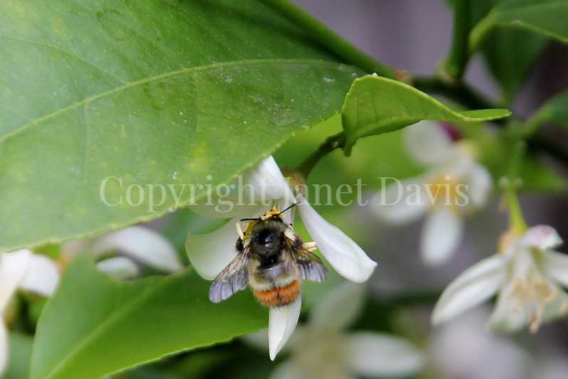 Black-Tailed Bumble Bee on Orange Blossom