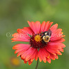 Brown-Belted Bumble Bee on 'Burgundy' Blanket Flower 3
