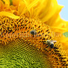 Common Eastern Bumble Bee on 'Russian Giant' Sunflower 1