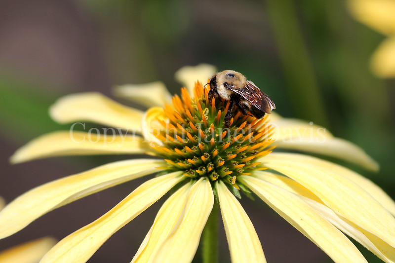Brown-Belted Bumble Bee on Echinacea 'Sunrise'