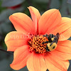 Brown-Belted Bumble Bee on 'Bishop of Oxford' Dahlia 1