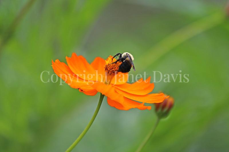Common Eastern Bumble Bee on Orange Cosmos 1