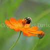 Common Eastern Bumble Bee on Orange Cosmos 1