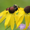 Common Eastern Bumble Bee on Yellow Coneflower