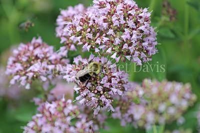 Common Eastern Bumble Bee on Oregano
