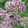 Common Eastern Bumble Bee on Oregano
