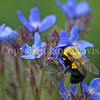 Common Eastern Bumble Bee on Italian Bugloss 1
