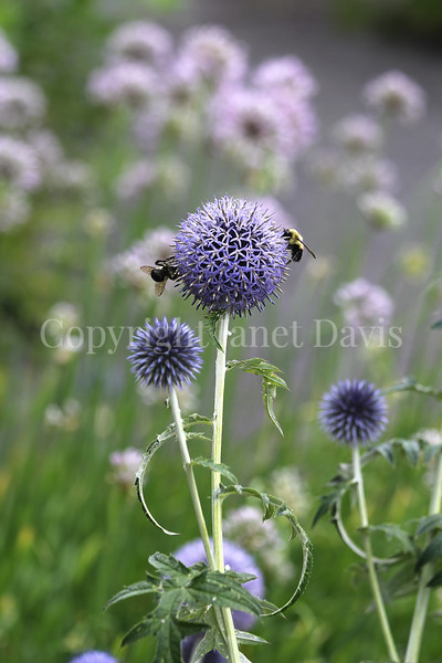 Common Eastern Bumble Bees on Globe Thistle 4