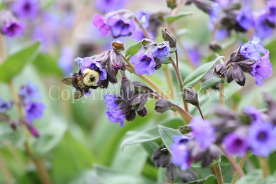 Two Spotted Bumble Bee on Lungwort 3