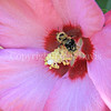 Common Eastern Bumble Bee on Rose-of-Sharon 2