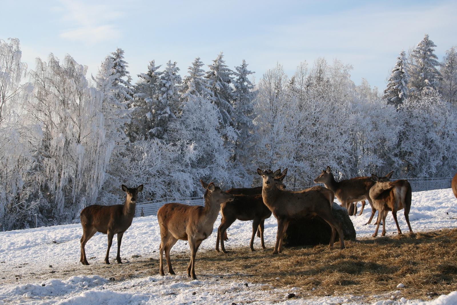 hjortekjøtt til salgs hamar