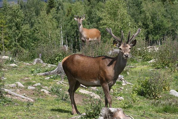 Som en fugl Fønix kan et hjorteoppdrett med innslag av vakre håndsydde mannsbunader stige opp av asken fra et grisefjøs. Kronhjorten hersker over sine 30 hunndyr med majestetisk selvfølge.
