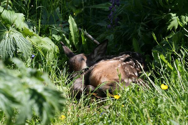 To dager gammel hjortekalv gjemmer seg i gresset mens hinden beiter for å kunne produsere melk.