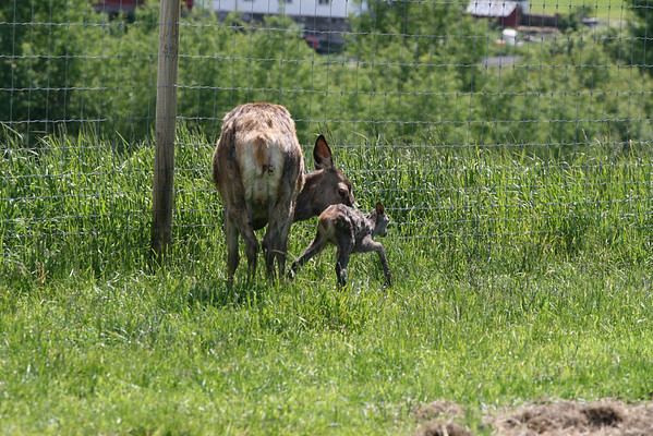 Her tar hjortekalven sine første vaklende skritt beskytten av hinden. På Faberghagen gård har Henning Kumle mellom 100 og 200 hjorter.