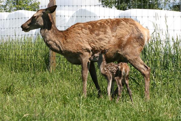 I viltgjerdet på Faberghagen gård kan du se nyfødte hjortekalver om våren.