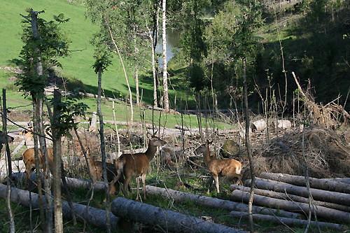 Hjort er en viktig del av driften på Farbergshagen. I Europa er etterspørselen etter produkter av hjort langt større enn leverandørene kan betjene.