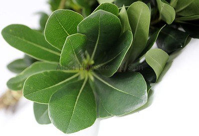 GREEN PITTISPORUM