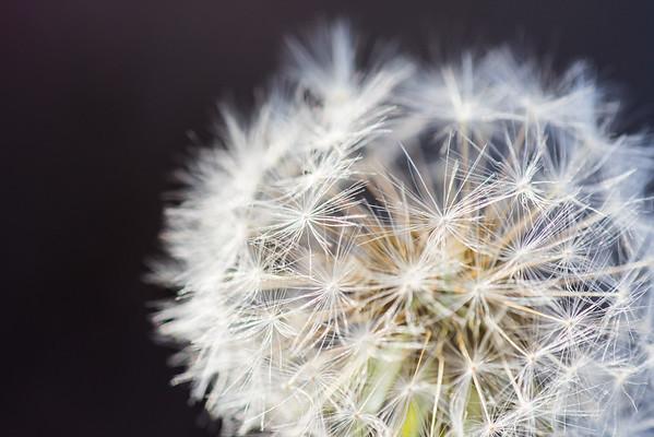 Dandelion (Taraxum)