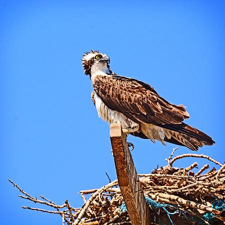 Burbank Osprey Nest, Charbonneau, Etc., 6-20-16