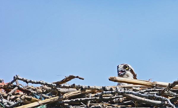 Burbank area MNWR Osprey Nest, 5-25-16