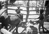 1958 Breaking in a horse Gogo