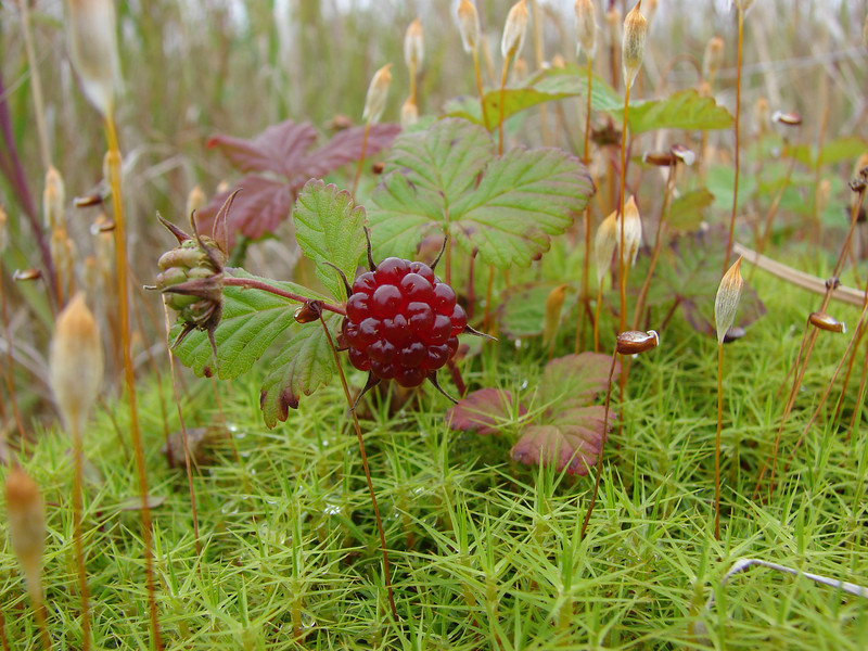 Arctic blackberry or nagoonberry - Rubus arcticus (RUAR) with a Polytrichum moss species. Ann comments that, in her opinion, this is Alaska's most delicious berry, but few have tasted it because it is so elusive.