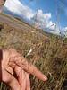 Kentucky bluegrass - Poa pratensis ssp. alpigena (POPRA6)