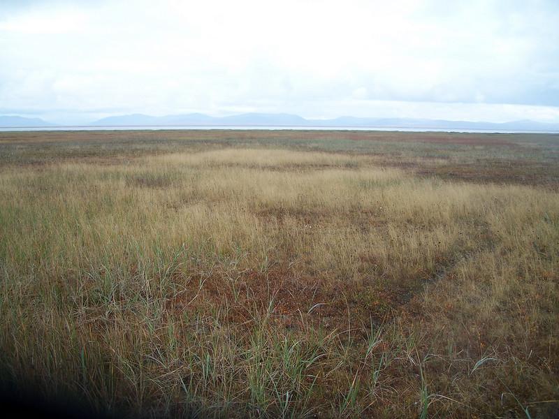 Tufted hairgrass - Deschampsia cespitosa (DECE)