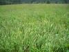 Bigleaf lupine - Lupinus polyphyllus (LUPO2)