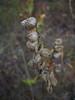 Arctic rattlebox - Rhinanthus minor ssp. groenlandicus (RHMIG)