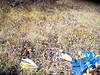 Nakedstem wallflower - Parrya nudicaulis (PANU5)