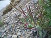 Dwarf fireweed - Chamerion latifolium (CHLA13)