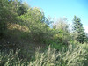 Pygmyflower rockjasmine - Androsace septentrionalis (ANSE4)