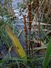 Seashore plantain - Plantago macrocarpa (PLMA)