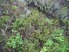 Purple milkvetch - Astragalus agrestis (ASAG2)