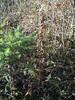 Sudetic lousewort - Pedicularis sudetica ssp. interior (PESUI2)