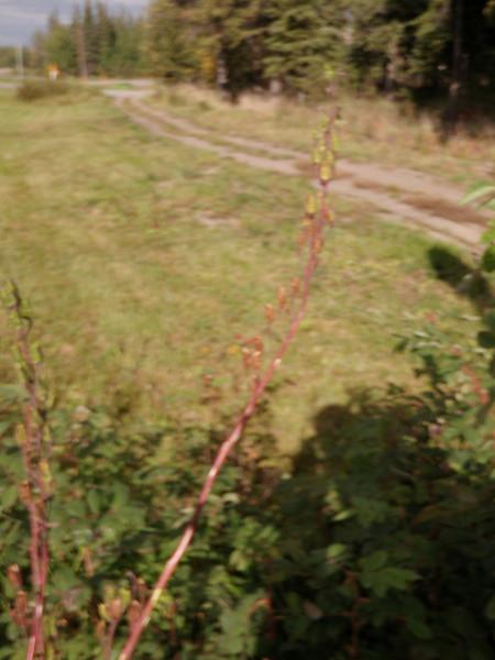 Sierra larkspur - Delphinium glaucum (DEGL3)
