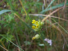 Little yellow rattle - Rhinanthus minor (RHMI13)