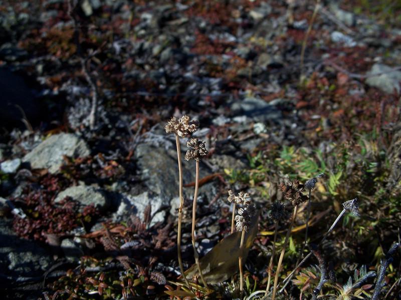Northern asphodel - Tofieldia coccinea (TOCO)