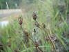 Yukon bellflower - Campanula aurita (CAAU)