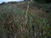 Wideleaf polargrass - Arctagrostis latifolia ssp. arundinacea (ARLAA5)