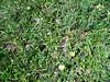 Alaskan mountain-avens - Dryas octopetala ssp. alaskensis (DROCA2)