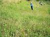 Larkspurleaf monkshood - Aconitum delphiniifolium ssp. delphiniifolium (ACDED3)