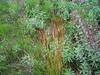 Spike trisetum - Trisetum spicatum (TRSP2)