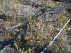 Bog Labrador tea - Ledum groenlandicum (LEGR)