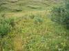 Boreal alopecurus - Alopecurus alpinus (ALAL2)