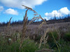 Bluejoint - Calamagrostis canadensis (CACA4)