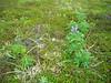Nootka lupine - Lupinus nootkatensis (LUNO)