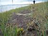 Bering chickweed - Cerastium beeringianum ssp. beeringianum var. grandiflorum (CEBEG3)