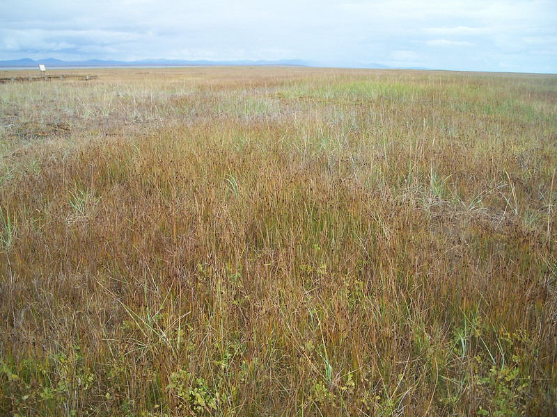 Pacific silverweed - Argentina egedii ssp. groenlandica (AREGG)